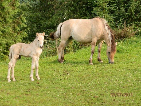 """Ouragan au Bois le Miot, poulain mâle classe """"A"""", né le 26 juin 2013, par Kyra et Gidar van den Bosdries."""
