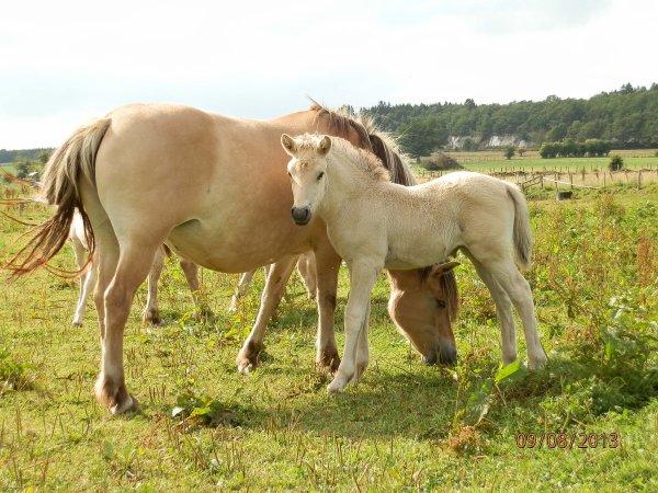 """Ophris au Bois le Miot, pouliche classe """"A"""", née le 18 juillet 2013 par Astrid et Gidar van den Bosdries."""