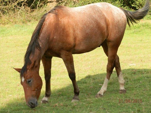 Quarter-horse, Tweeter, puissant hongre de 2009.