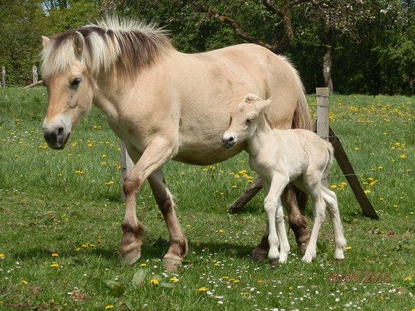 Naissance mai 2015, Marylin au Bois le Miot, fille d'Ubuki, et sa toute première pouliche, Rubi par Gidar van den Bosdries, née le 9 mai.
