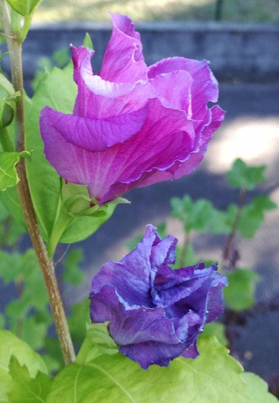 Fleur d'ibiscus