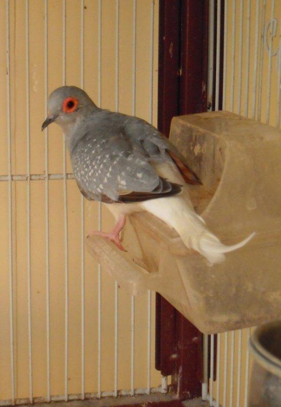 une de mes colombe diamant
