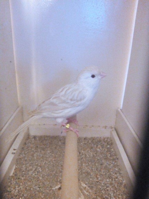 Descente du nid de mais 4 jeune et issus de ma femelle satiné bblanc et de mon mâle Isabelle blanc porteur de satiné