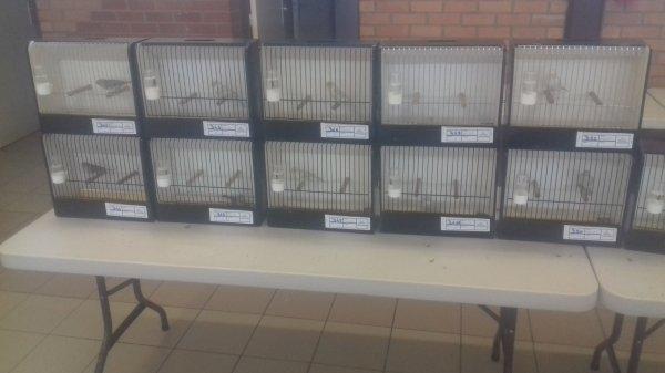Voilas enlogement des oiseaux  pour le concours de noeux les mines