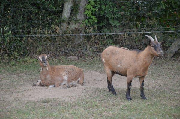 Le bouc et la chèvre