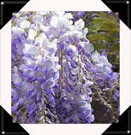 BEIGNETS DE FLEURS DE GLYCINE .... la violette