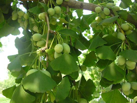 How Properly Are You Familiar With Ginkgo Biloba?