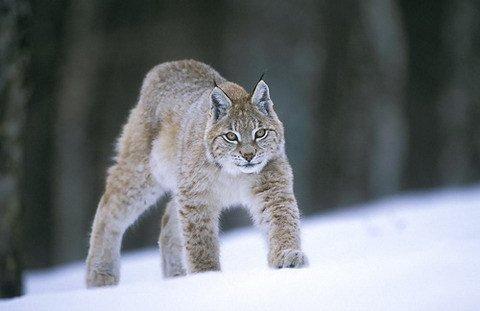 le lynx pardelle animal en danger s o s f lins. Black Bedroom Furniture Sets. Home Design Ideas