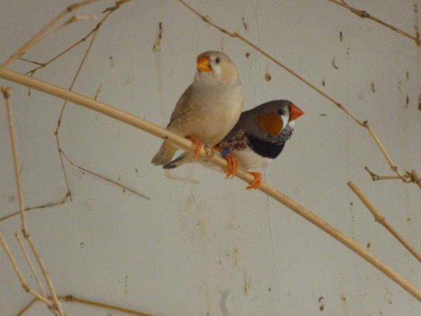 le mâle est un gris PN et la femelle est une brune PNPO