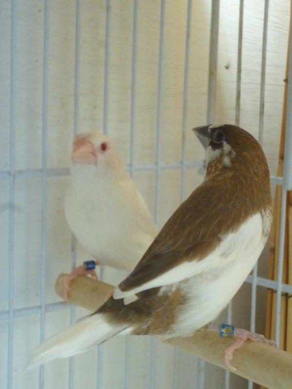 Un couple de moineau japon, le mâle est blanc aux yeux rouge et la femelle panaché