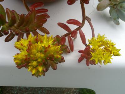 Fleurs de Sedum rubrotinctum
