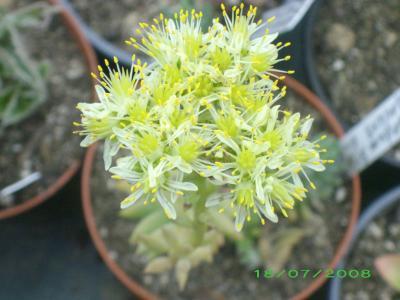 fleurs de sedum sediforme