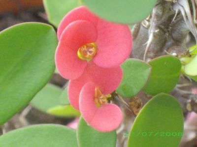 fleurs d'Euphorbe millii