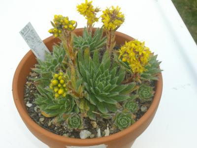 Aeonium simsii en fleurs