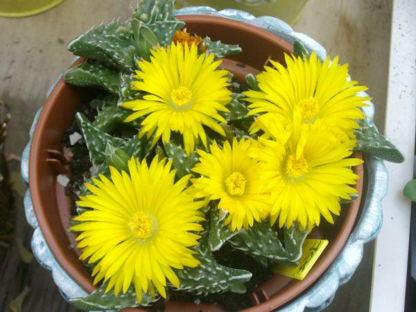 faucaria en fleurs