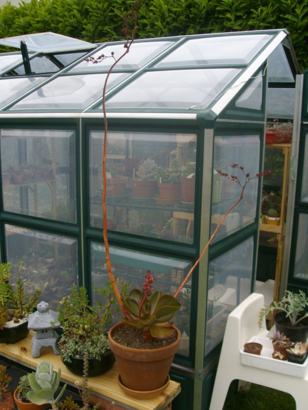 L'Echeveria fimbriata bat son record de hauteur !