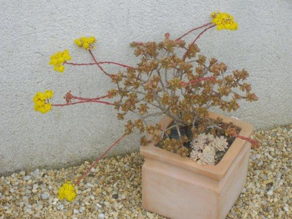aeonium spatulatum fleuri
