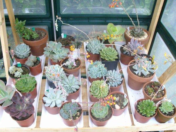 Ma collection de jeunes Echeveria fleuri déjà !