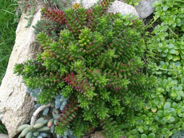Sedum rubrotinctum en automne