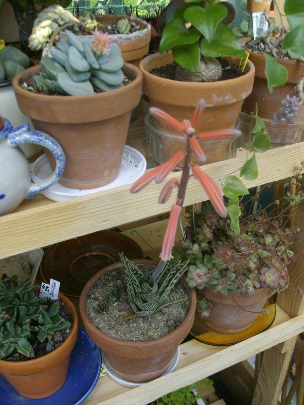 aloe variegata en fleur (dans la serre)