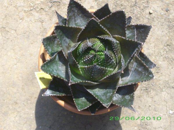 Aloe 'Cosmos'