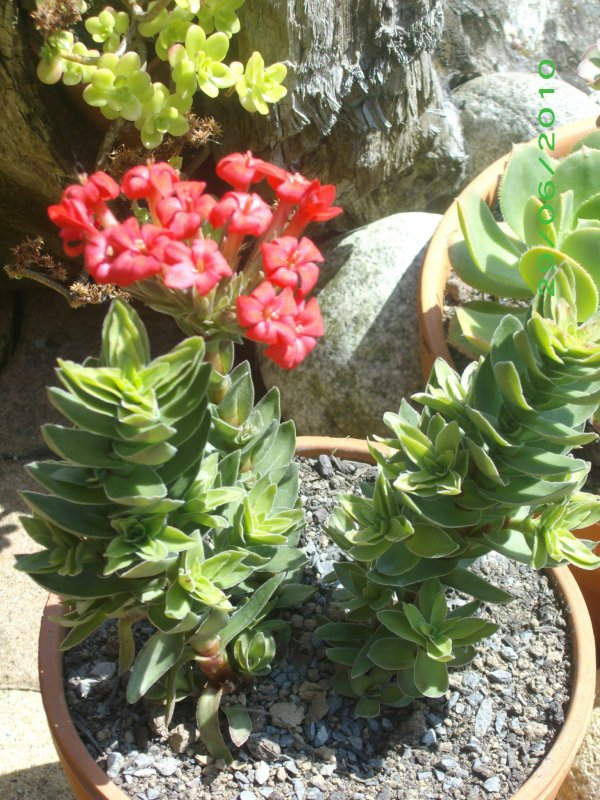 Crassula coccinea en fleurs