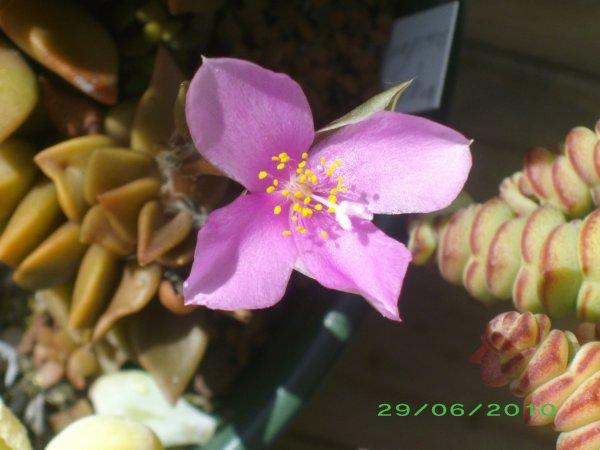 Anacampseros telephiastrum  en fleur
