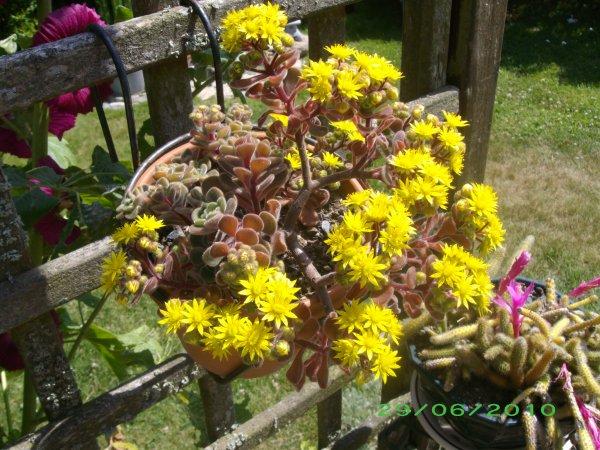 Aichryson en fleurs