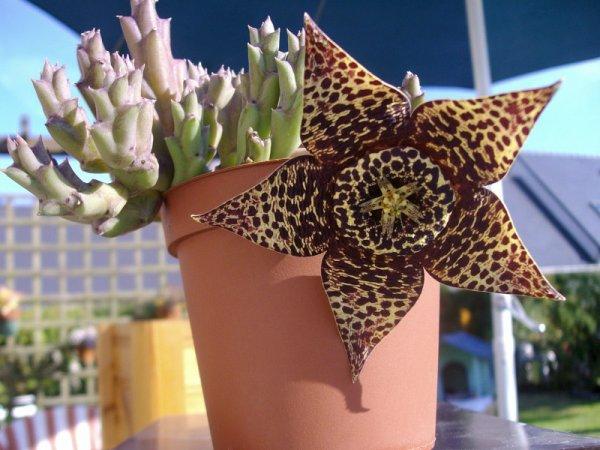 Stapelia variegata en fleurs