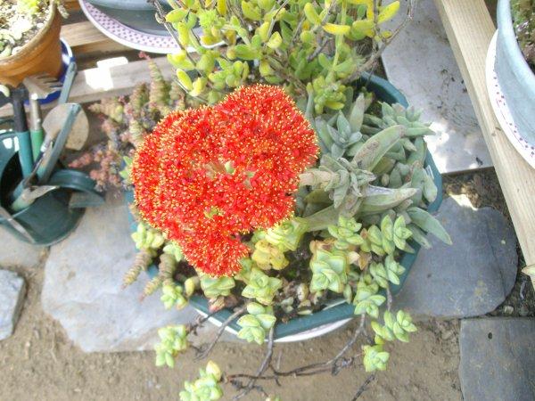 Crassula falcata, première floraison