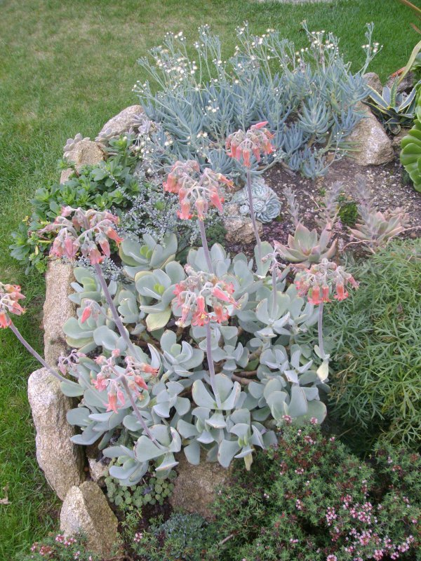 Cotyledon en fleurs
