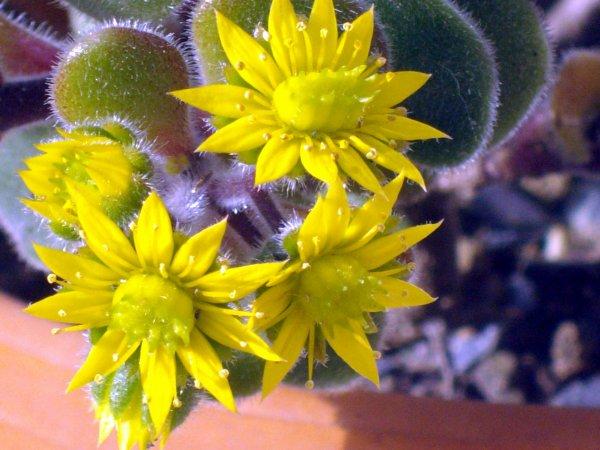 Gros plan sur la fleur d'Aichryson