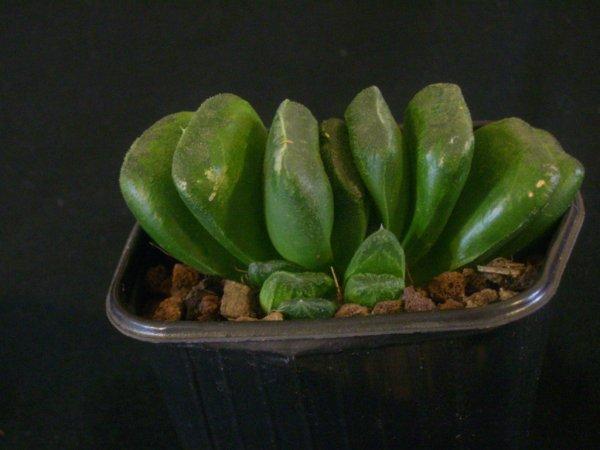 Haworthia truncata hybride ?
