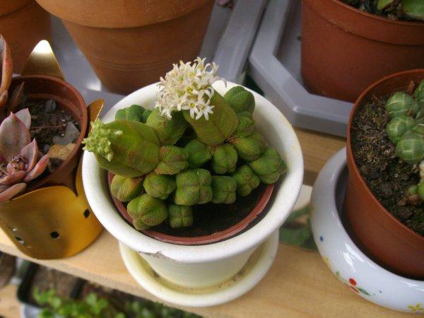 Crassula pyramidalis en fleurs : un bijou végétal !