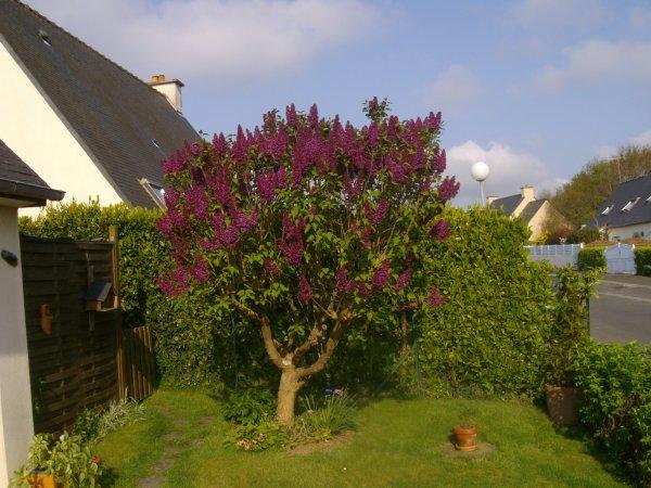 ....les lilas sont fleuris... tous les oiseaux du monde, viennent  y faire leur nid...