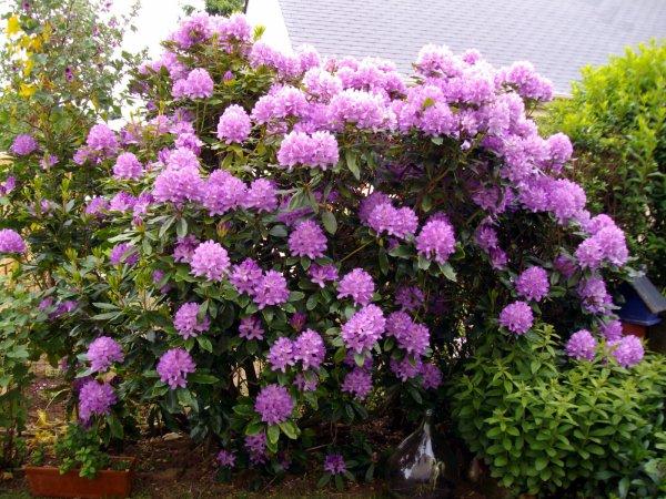 Le rhododendron du jardin