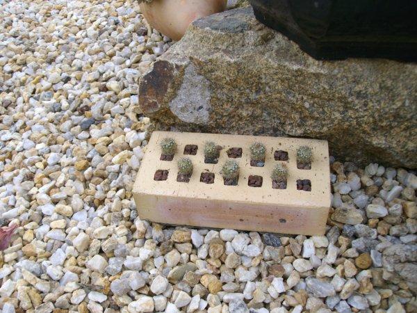 Cactus-brique
