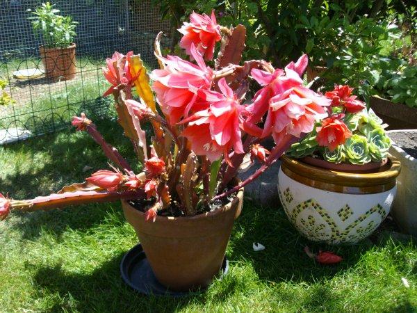 Epiphyllum en fleurs