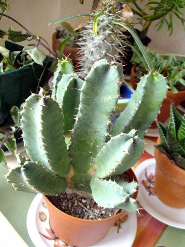 ? peut-être bien une Euphorbia ? dites moi donc !