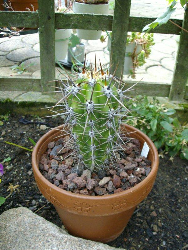 Echinopsis (trichocereus) werdermanniana . Mon choucou !!!!