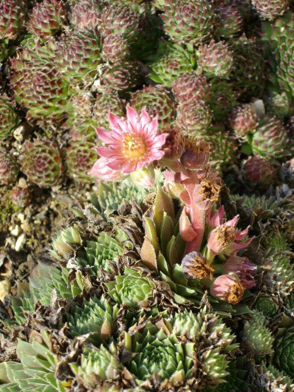 Sempervivum marmoreum erythraeum (Origine Bulgarie, )