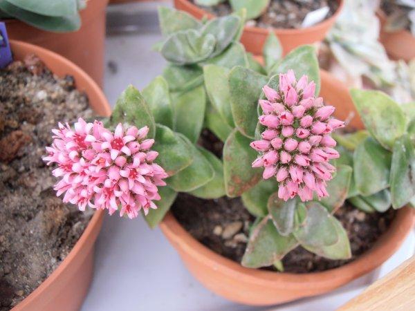 "Crassula  ""Springtime""  en fleurs"