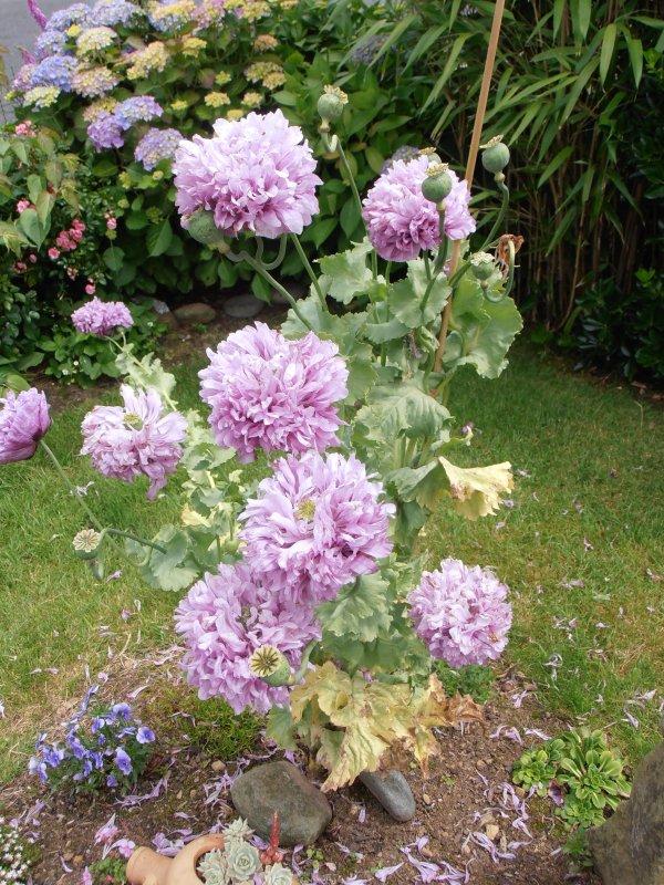 Pavot à fleur de pivoine