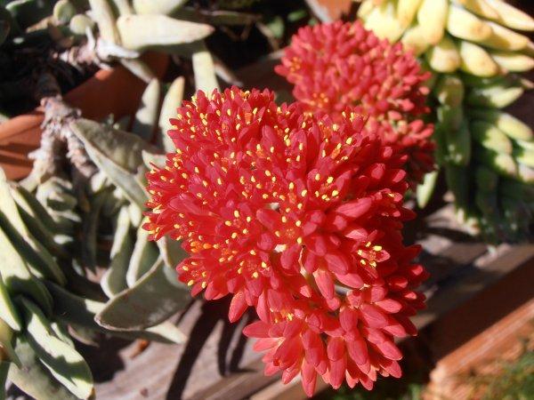 Crassula perfoliata var. falcata en fleurs