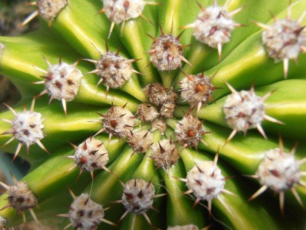 Cactus pompon !!!