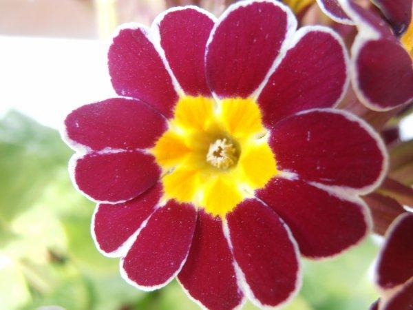 'Gold Lace' (Primula) nous offre ses mandalas naturels
