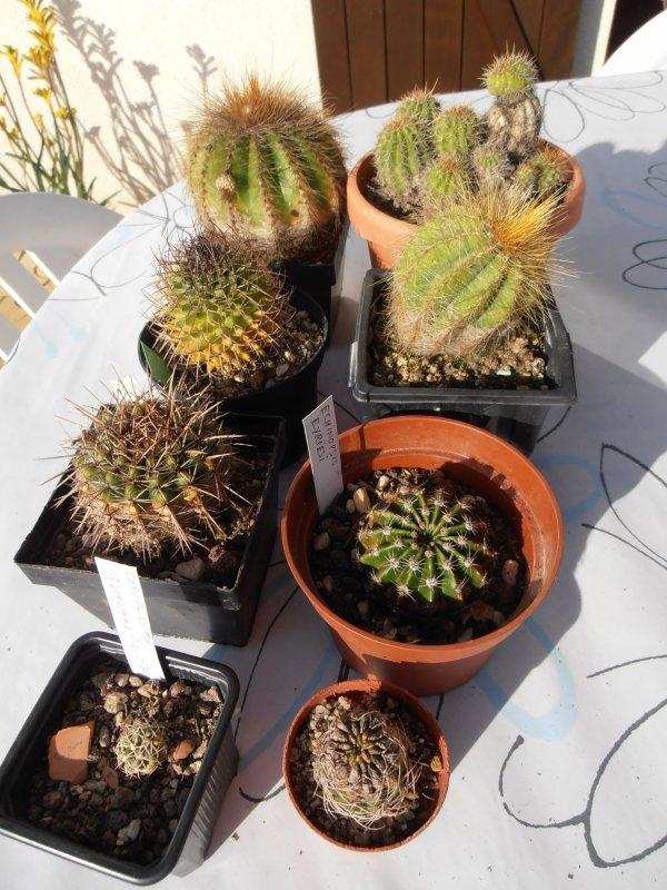 Cactus nouveaux venus .