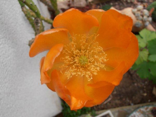 Première floraison du vieux cactus