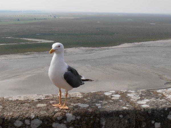 Goéland argenté devant la baie du Mont Saint-Michel