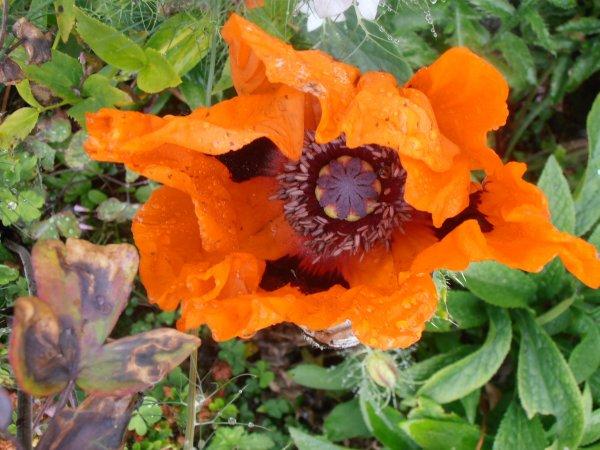 Mandala toujours , symétrie radiale  : pavot ornemental